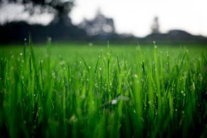 field of grass wet with dew